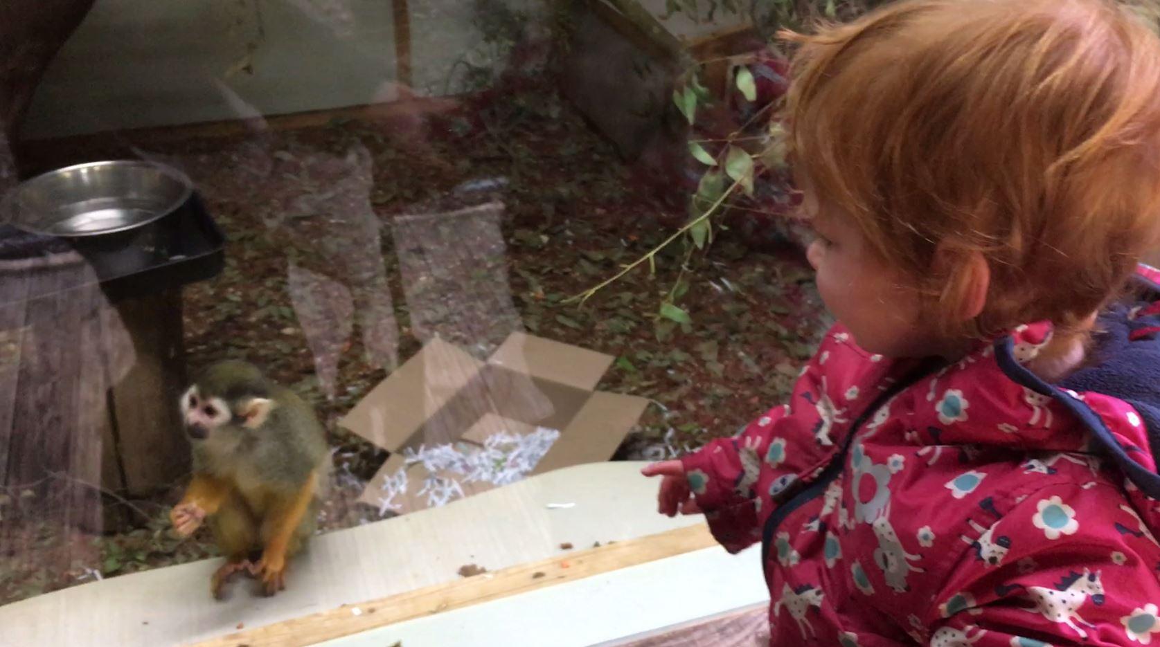 Toddler looking at squirrel monkey at Shaldon Zoo