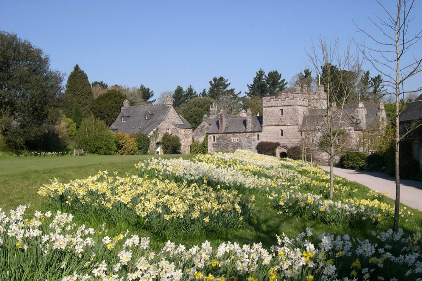 Cotehele National Trust with daffodils in foreground