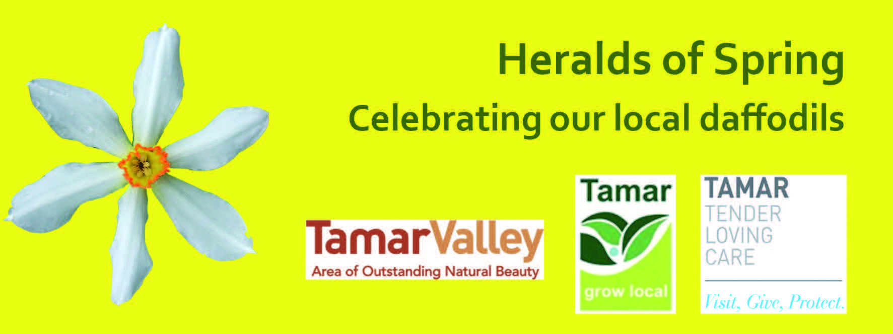 Heralds of Spring - Celebrating our local daffodils