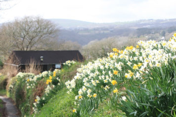 Daffodils in Bere Alston